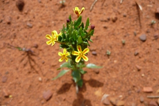 possibly Pale India Weed
